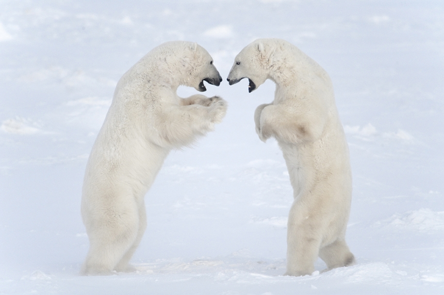 Photo hunting on polar bears took 117 hours in 50-degree frost 07