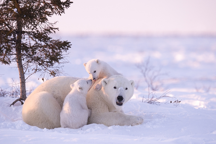 Photo hunting on polar bears took 117 hours in 50-degree frost 08