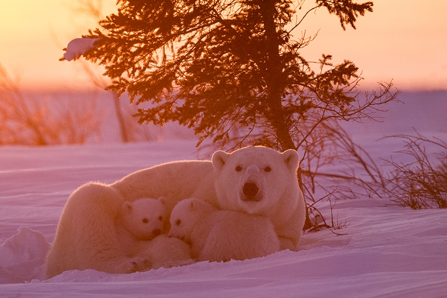 Photo hunting on polar bears took 117 hours in 50-degree frost 09