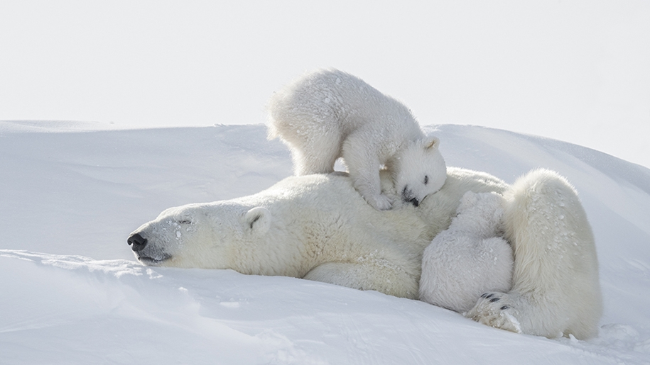 Photo hunting on polar bears took 117 hours in 50-degree frost 10