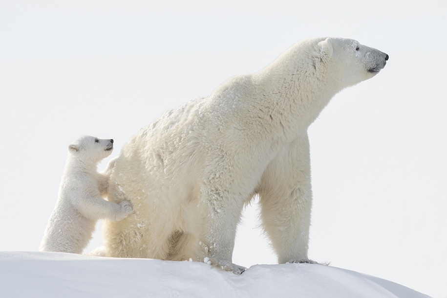 Photo hunting on polar bears took 117 hours in 50-degree frost 11