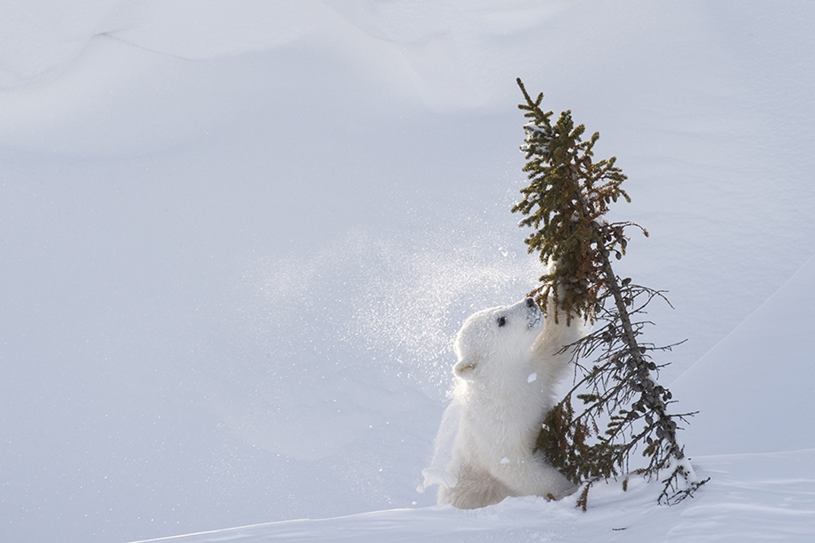 Photo hunting on polar bears took 117 hours in 50-degree frost 12