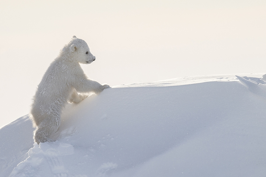Photo hunting on polar bears took 117 hours in 50-degree frost 13