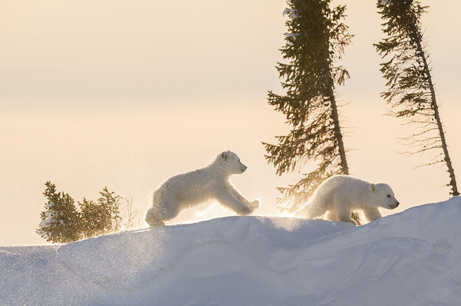 Photo hunting on polar bears took 117 hours in 50-degree frost 15