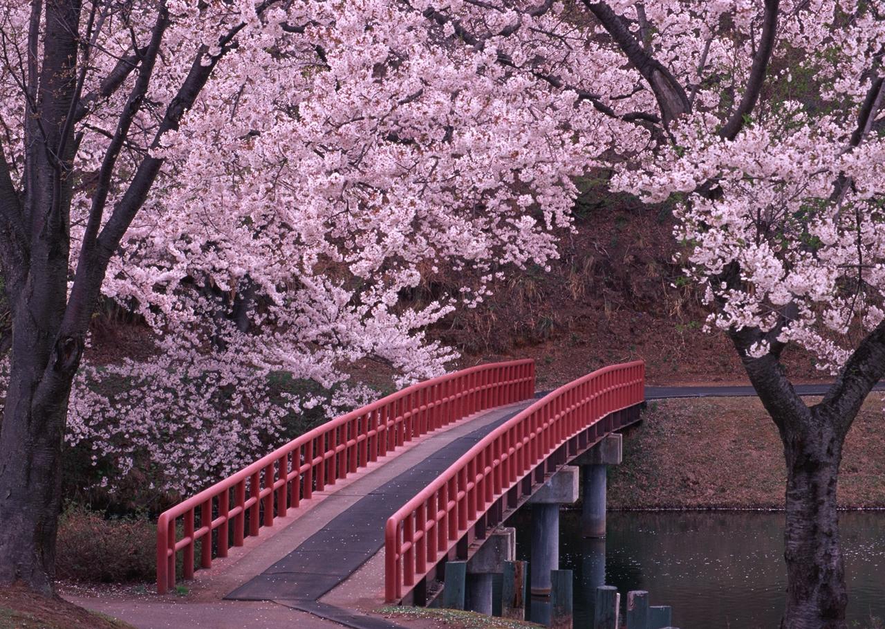 Photos of Sakura 03