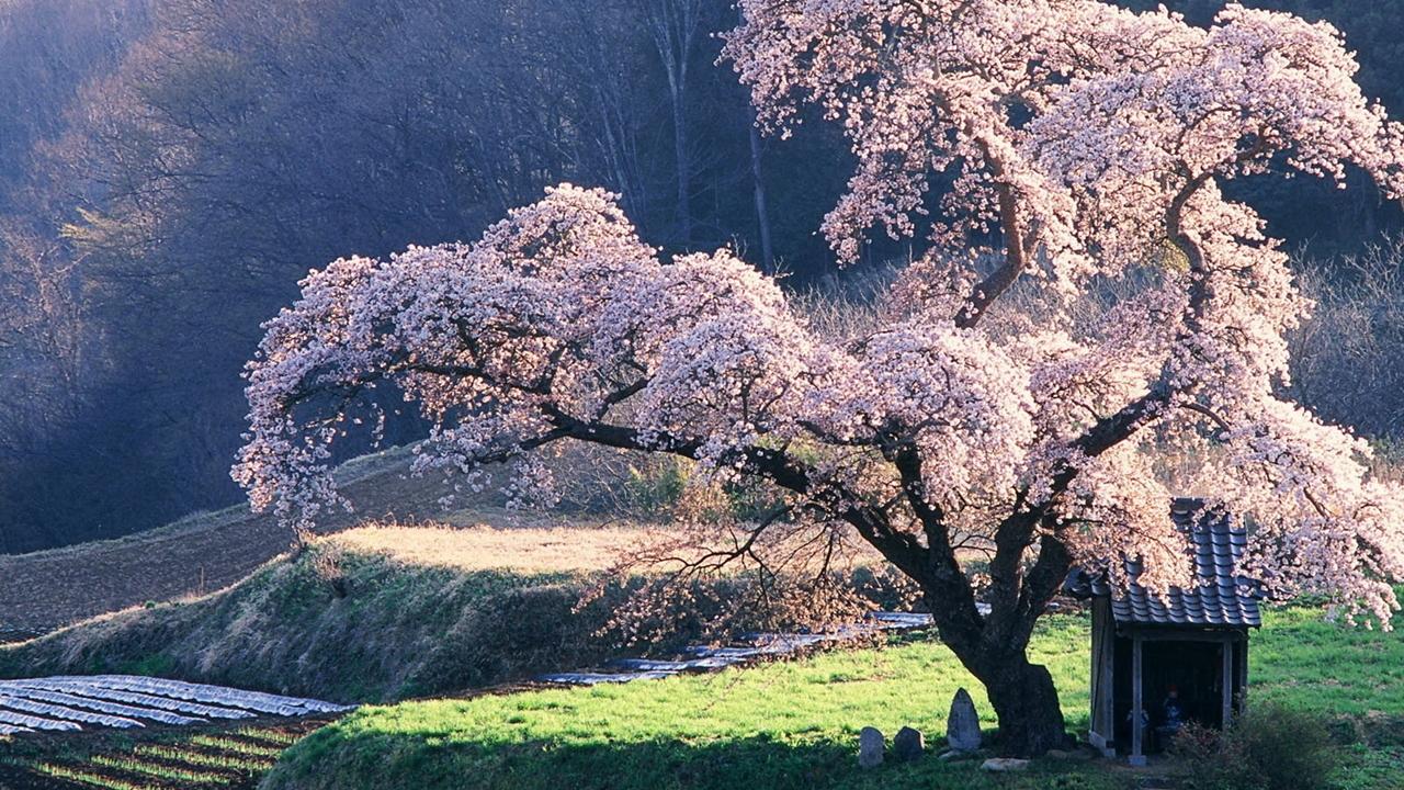 Photos of Sakura 11
