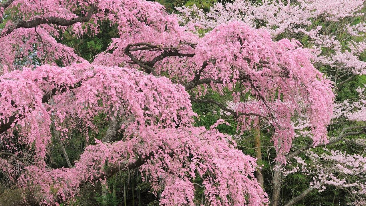 Photos of Sakura 14