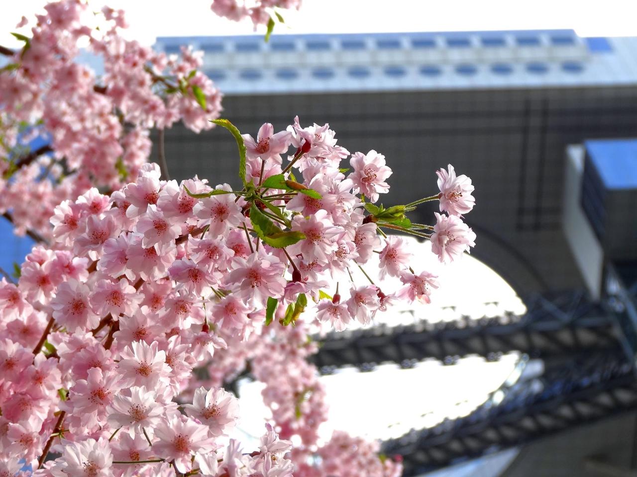 Photos of Sakura 17