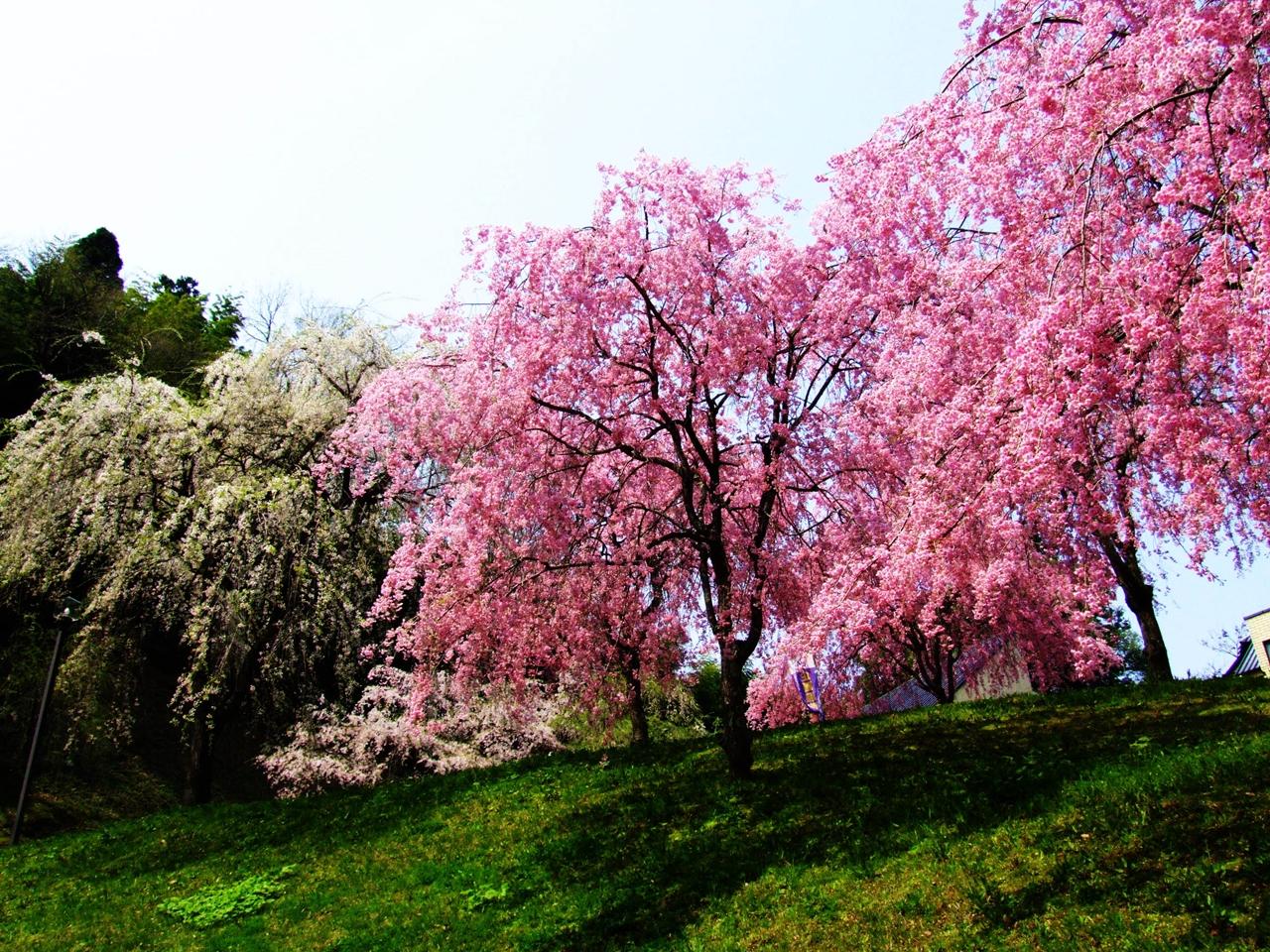 Photos of Sakura 22
