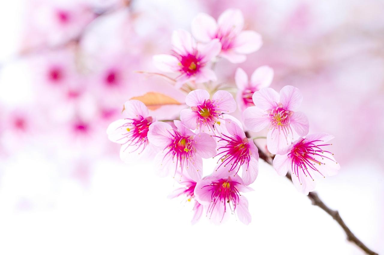 Photos of Sakura 27