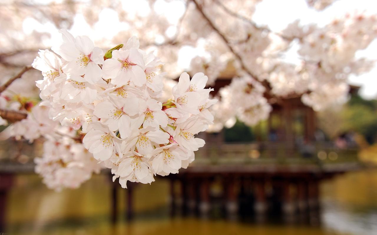 Photos of Sakura 29