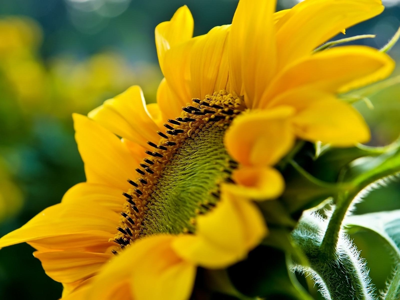 Photos of sunflowers 18