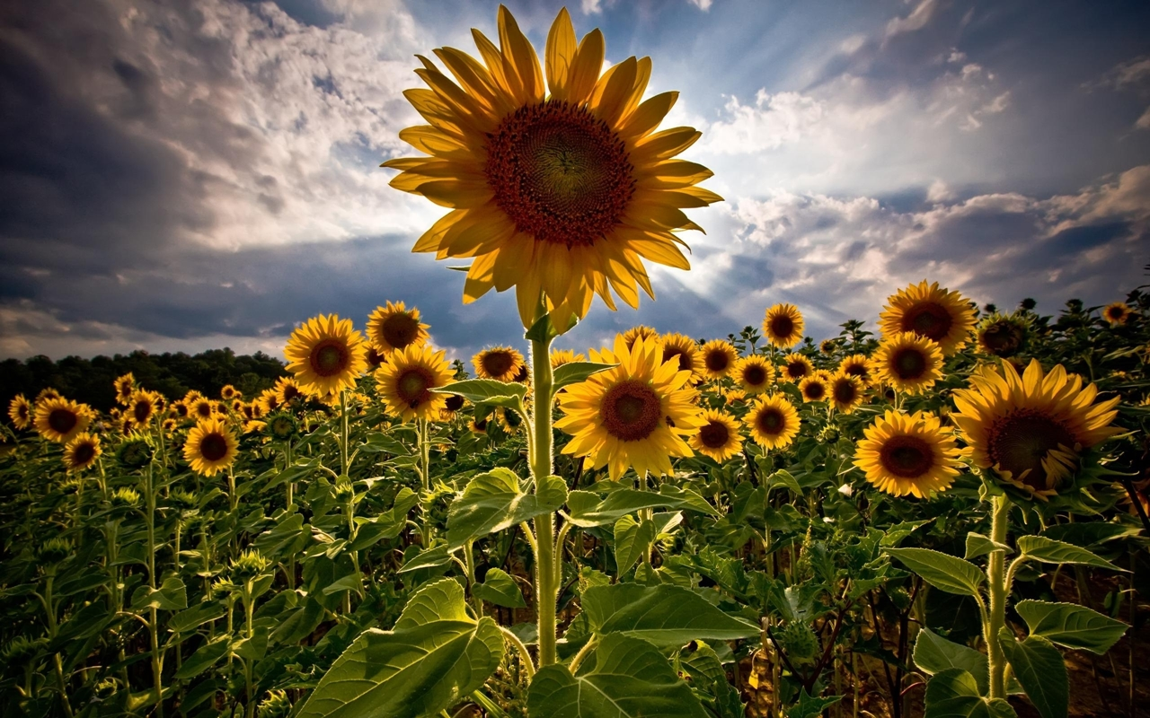 Photos of sunflowers 20