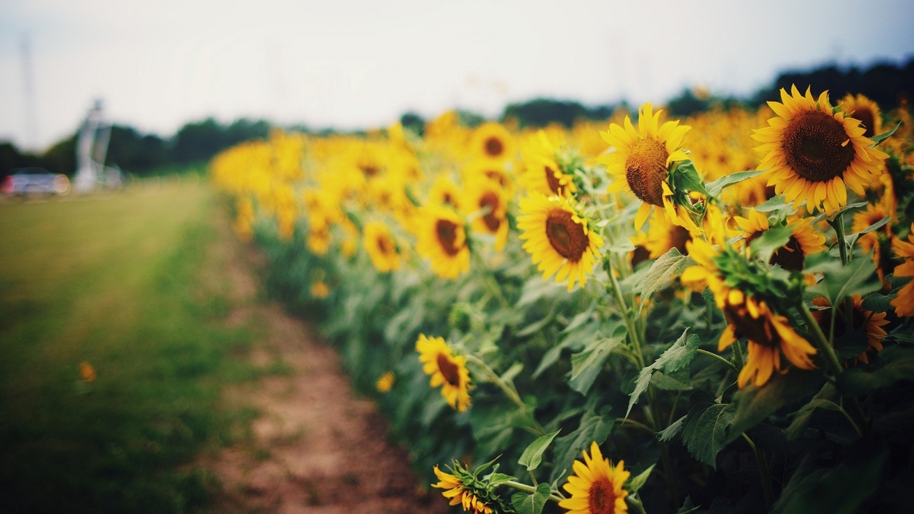 Photos of sunflowers 23