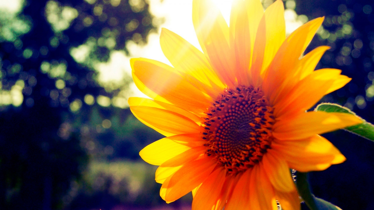 Photos of sunflowers 24