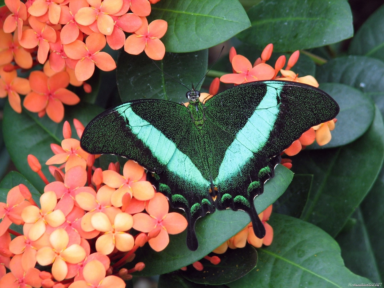 Pictures of butterflies 10