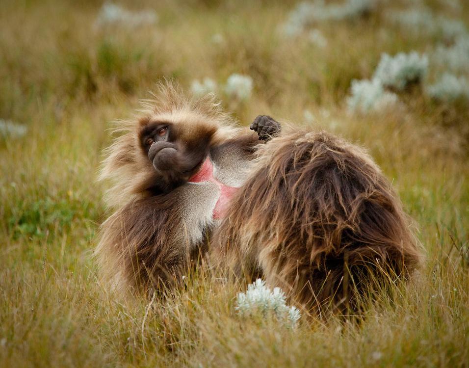 Gelada baboons, Guassa Plateau, Ethiopian Highlands