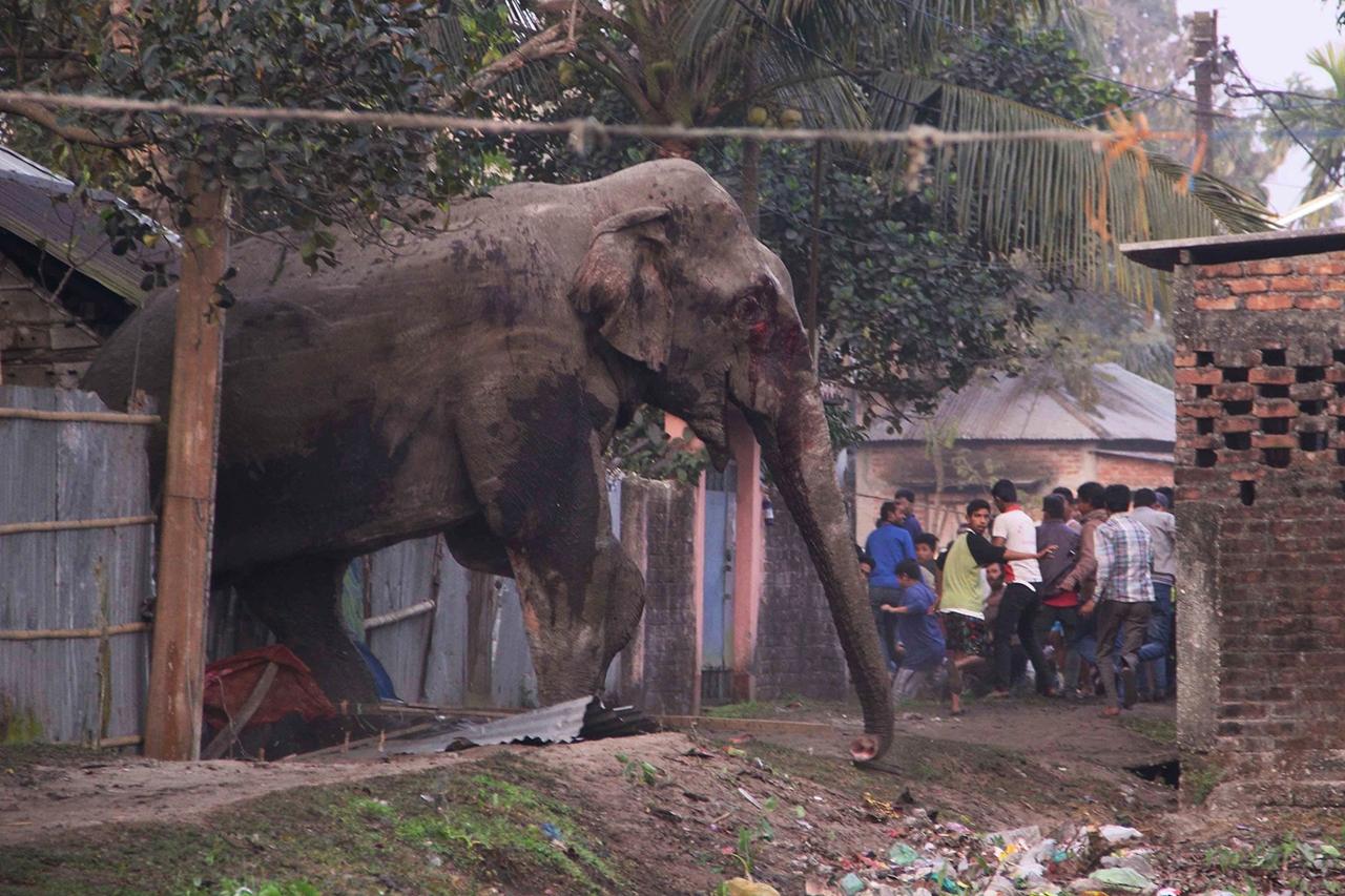 Rabid elephant 02