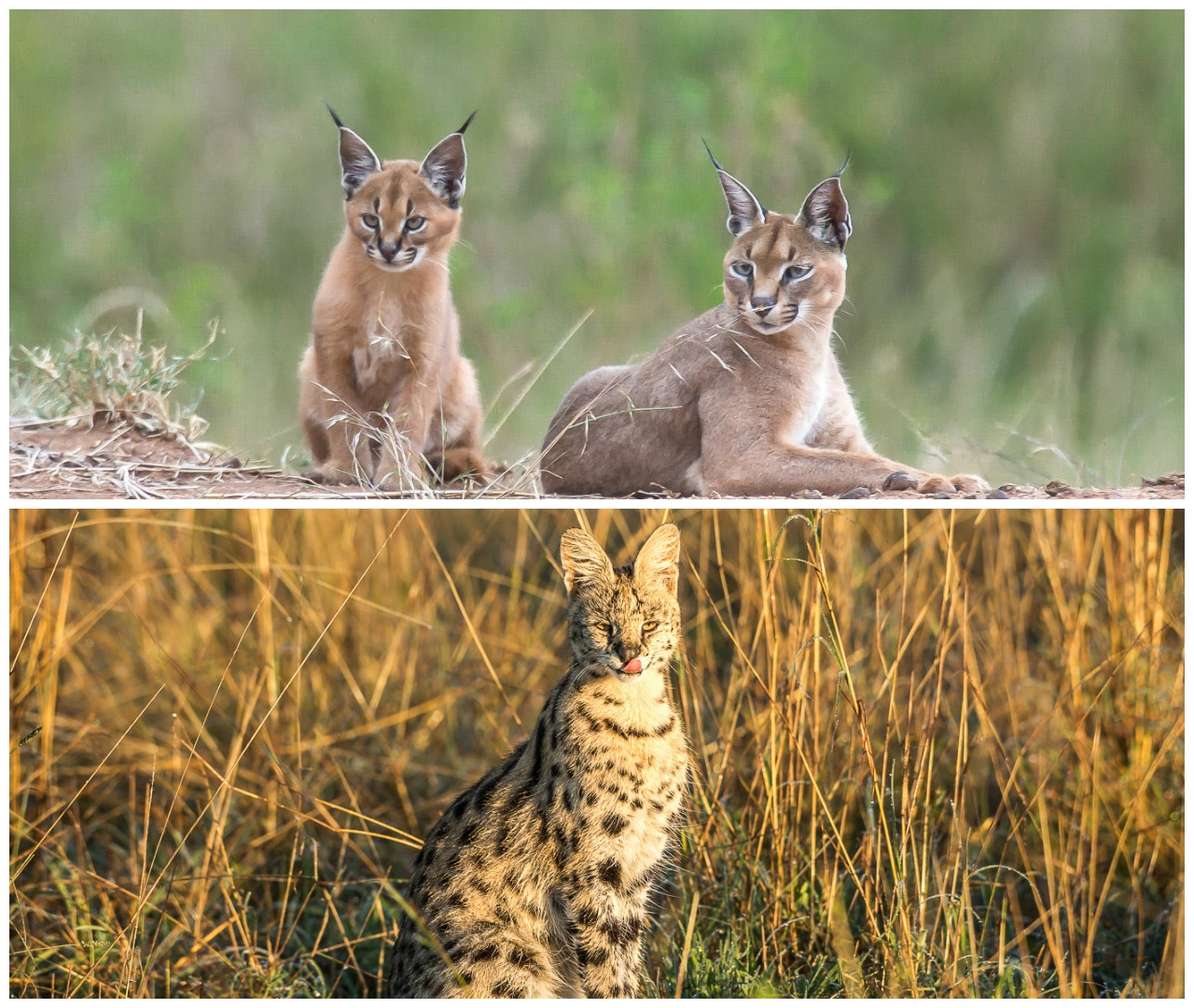 Serval and Caracal - cats rare nature 00
