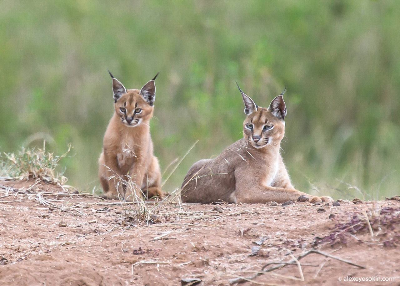 Serval and Caracal - cats rare nature 06