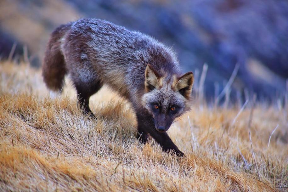 Редкие по красоте черные лисы