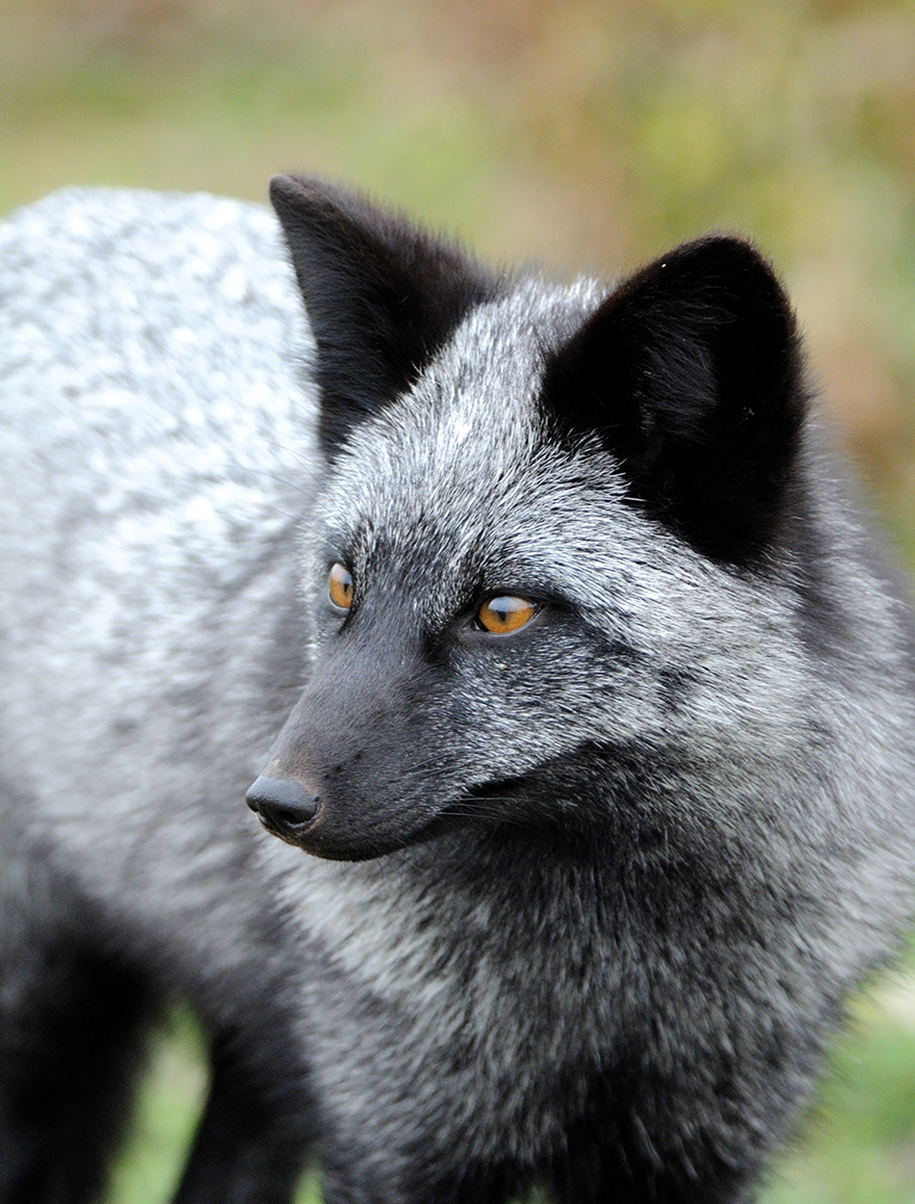 The rare beauty of the black Fox 02