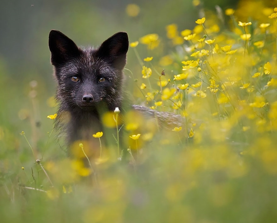 The rare beauty of the black Fox 03