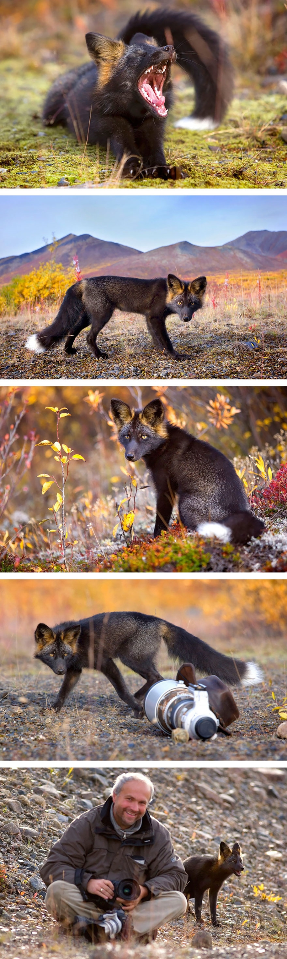 The rare beauty of the black Fox 04