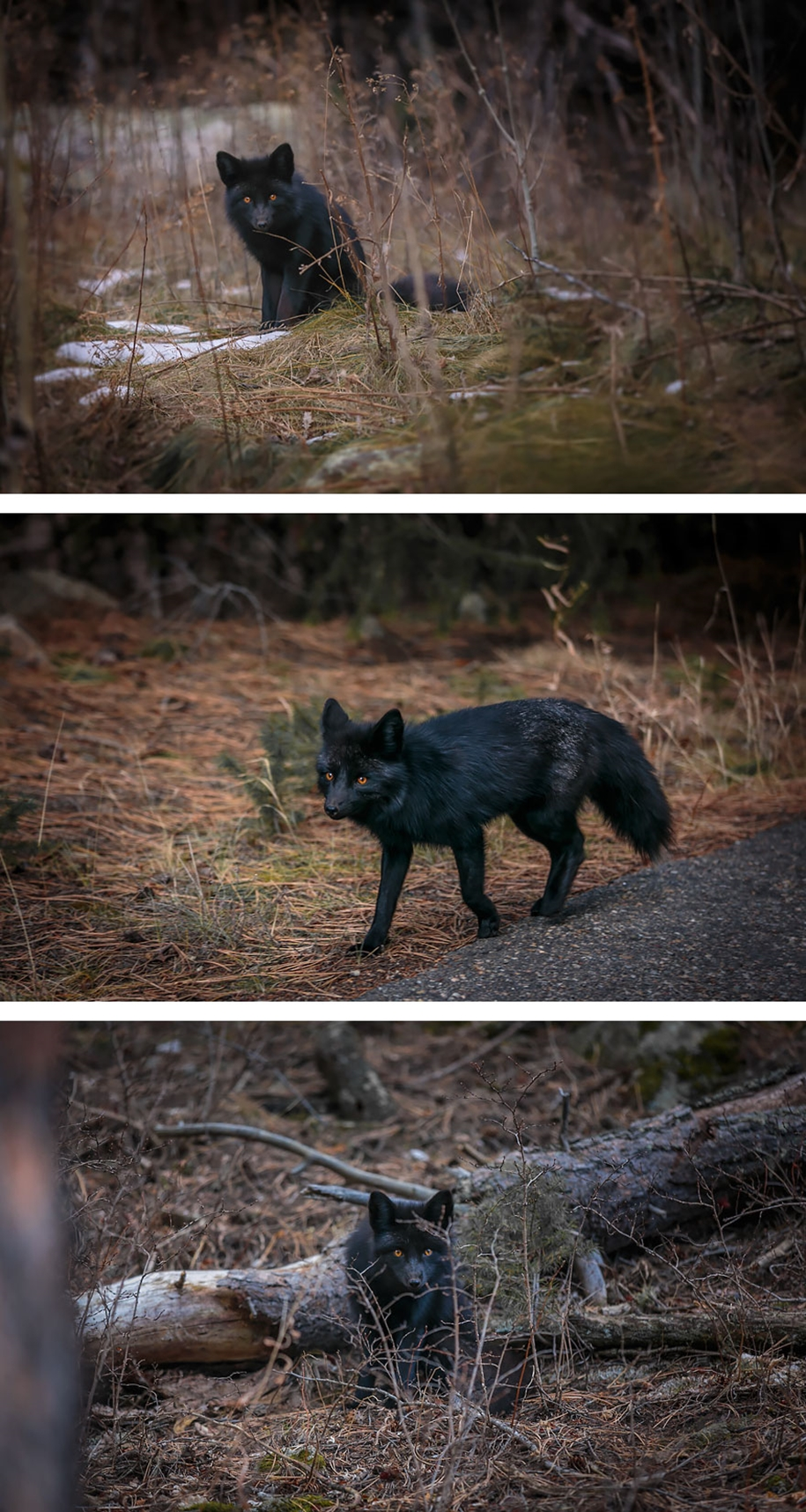 The rare beauty of the black Fox 05