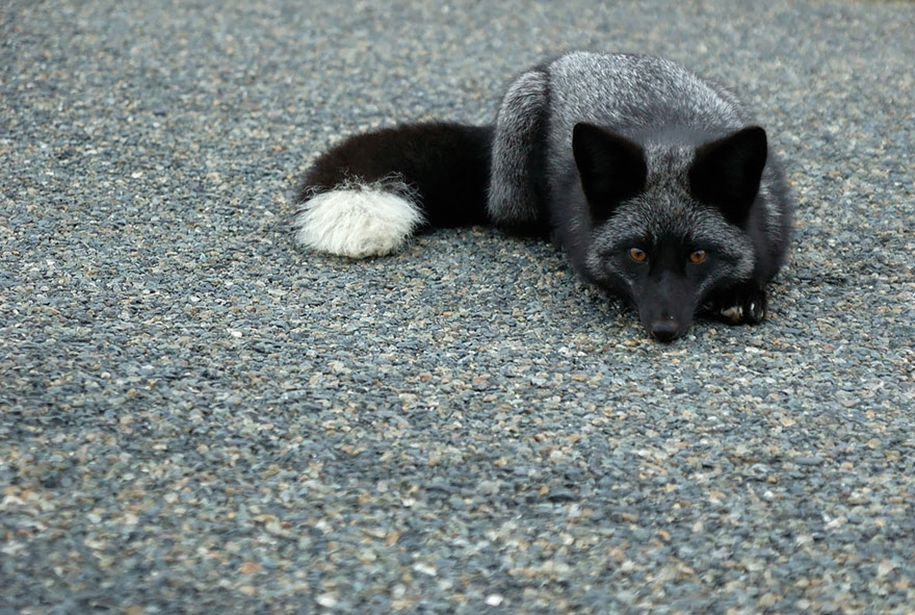 The rare beauty of the black Fox 06