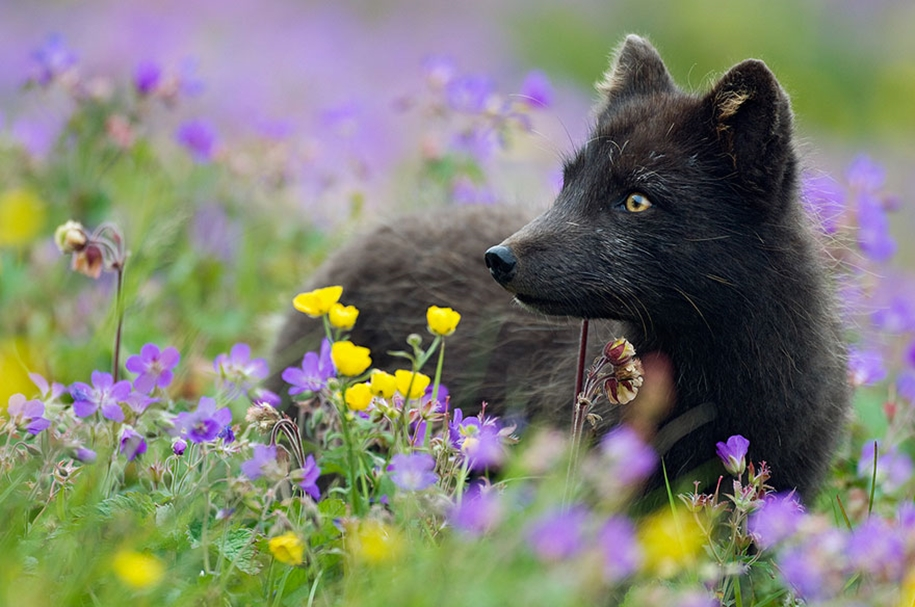 The rare beauty of the black Fox 07