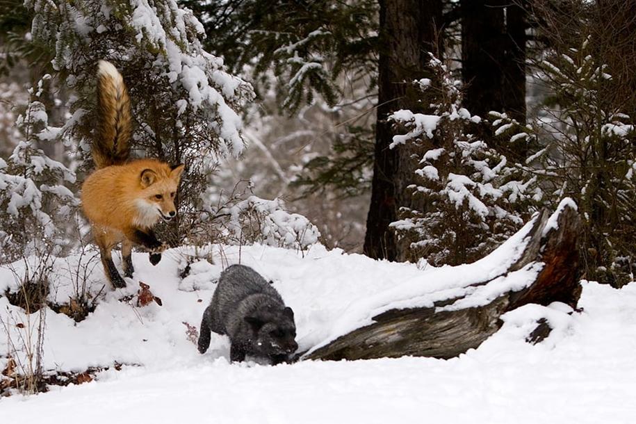 The rare beauty of the black Fox 08