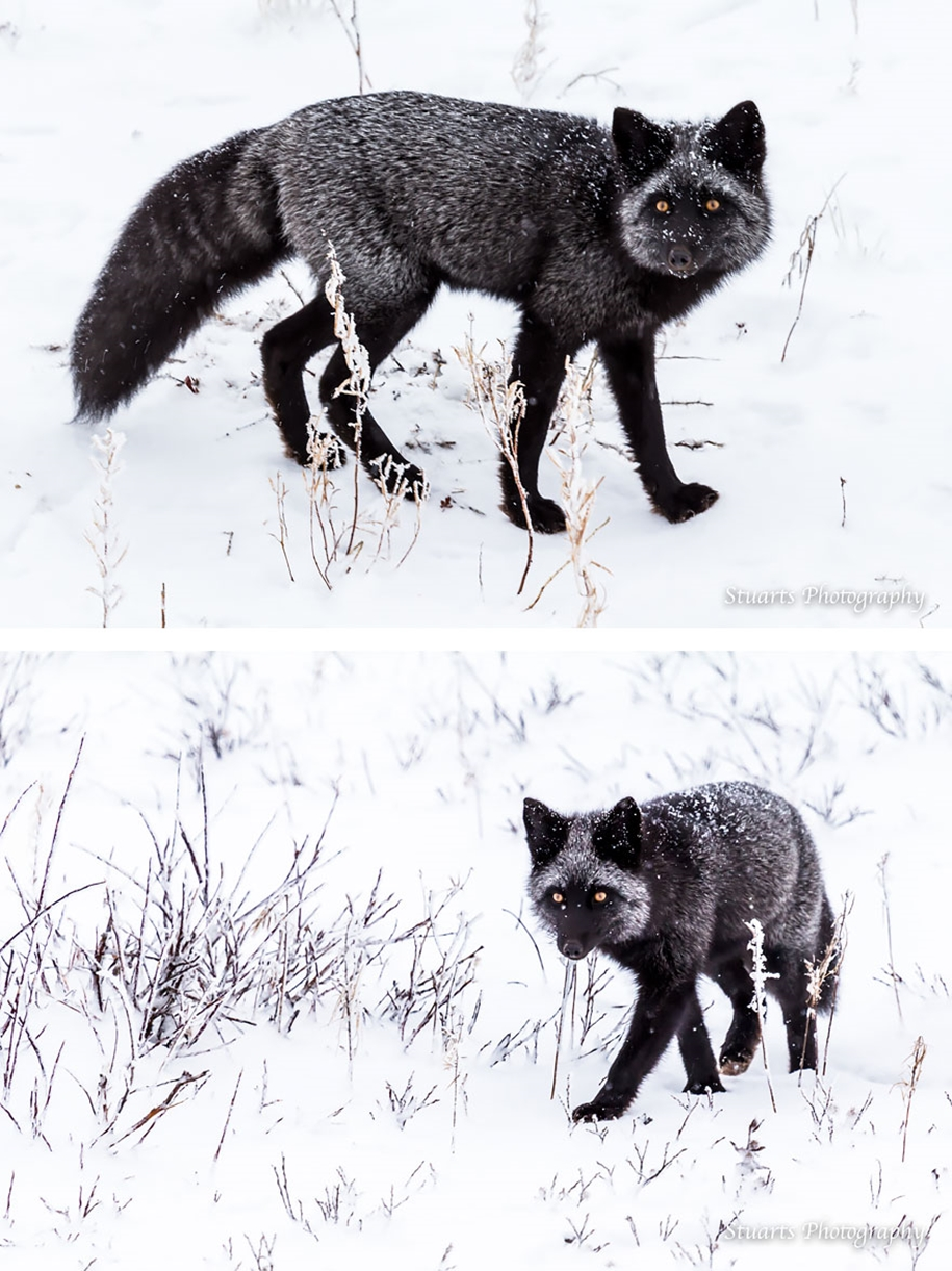 The rare beauty of the black Fox 09