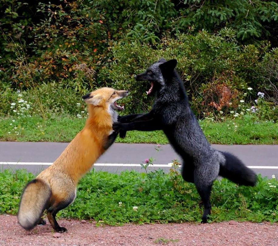 The rare beauty of the black Fox 10