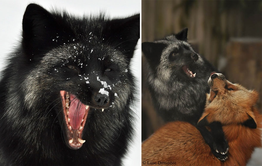 The rare beauty of the black Fox 11