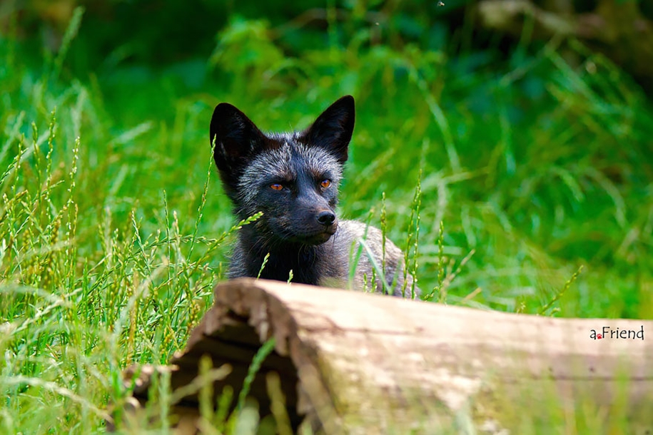 The rare beauty of the black Fox 12