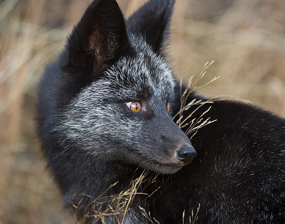 The rare beauty of the black Fox 13