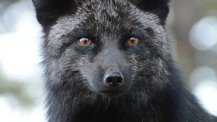The rare beauty of the black Fox 14
