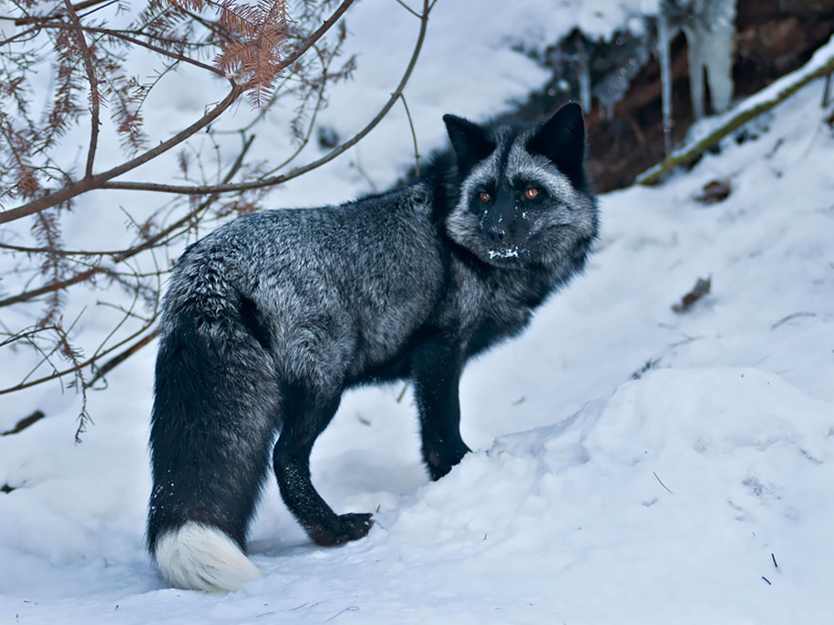 The rare beauty of the black Fox 15