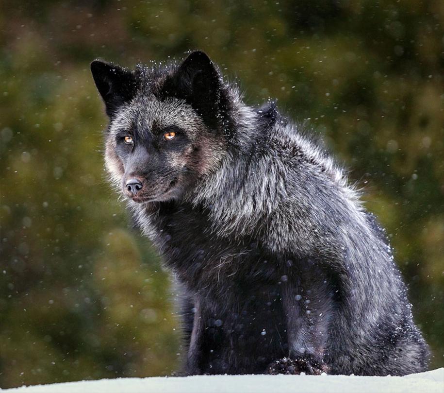 The rare beauty of the black Fox 16