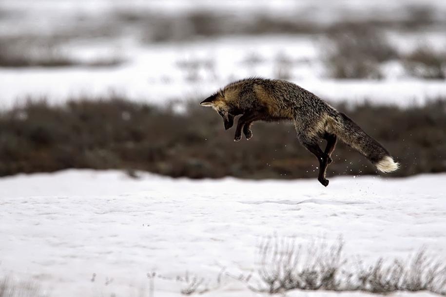 The rare beauty of the black Fox 17