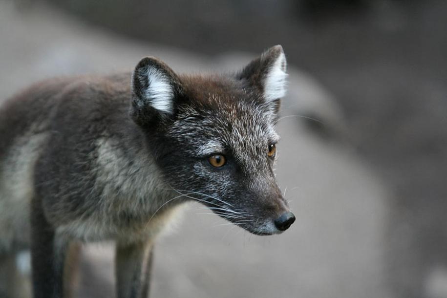The rare beauty of the black Fox 18