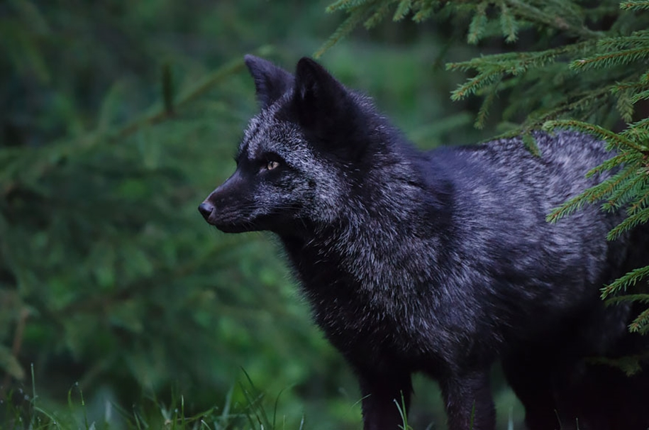 The rare beauty of the black Fox 19