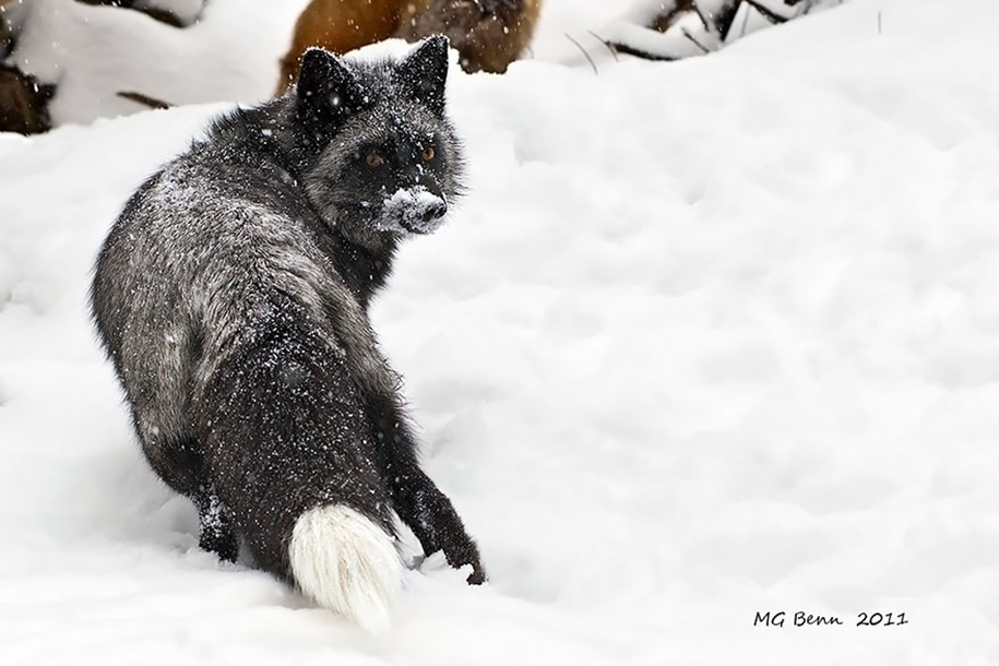 The rare beauty of the black Fox 20