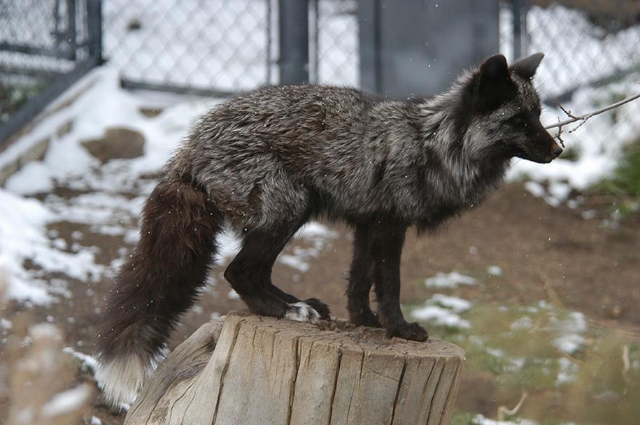 The rare beauty of the black Fox 21