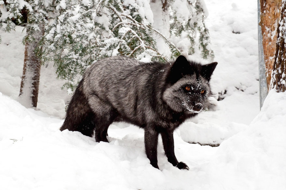 The rare beauty of the black Fox 22