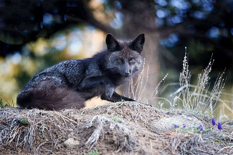 The rare beauty of the black Fox 23