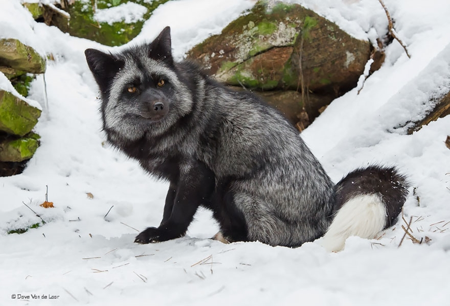 The rare beauty of the black Fox 24