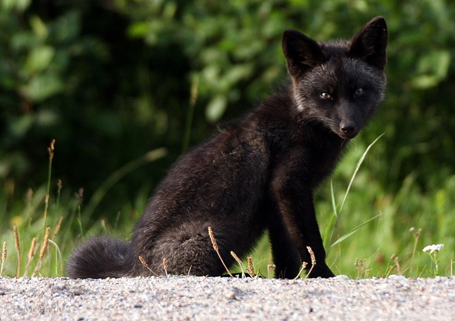 The rare beauty of the black Fox 26