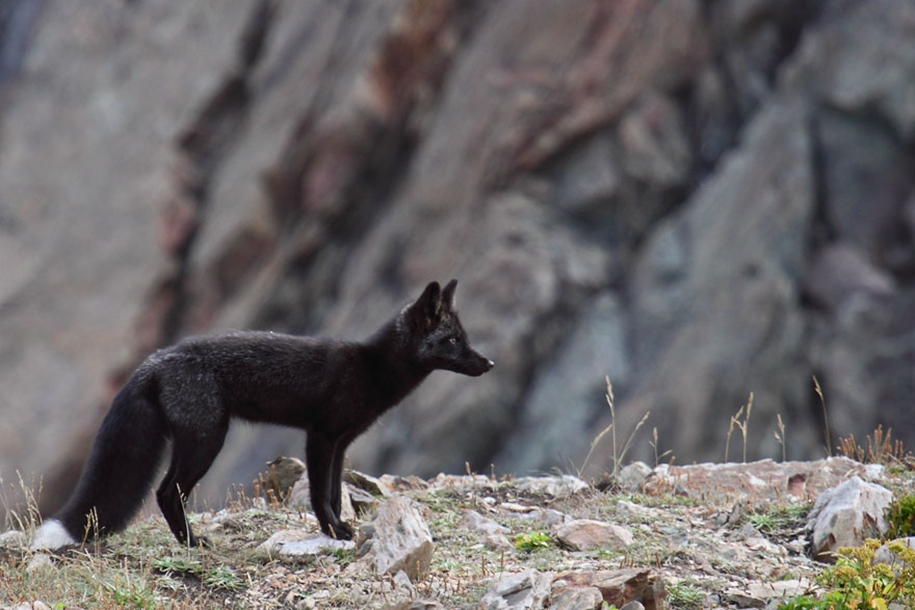 The rare beauty of the black Fox 27